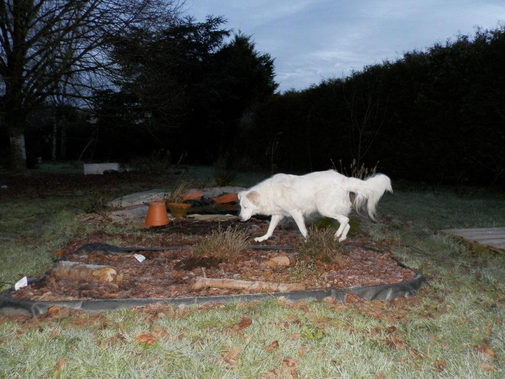 une mini-tourbière artificielle, puis une mare à filtration naturelle, des fruitiers sur le côté (pommiers, groseilliers) et des arbres de haut jet au fond (tilleul, cèdre). Au premier plan, Snow, chien berger blanc poils longs traverse la scène au moment où j'appuie sur le déclencheur